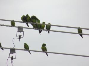 green conures 3