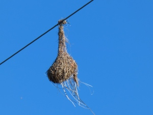 Altamira Oriole Nest